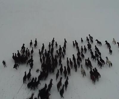 Kar üstünde dörtnala özgürlük: Yılkı atları