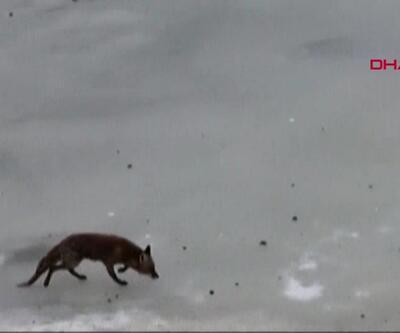 Kış mevsimi tilkileri de olumsuz etkiledi