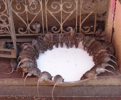 Burada insanlar farelere tapıyor... Yemeklerini bile beraber yiyorlar