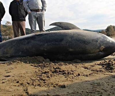 İzmir'de ölü yunus sahile vurdu