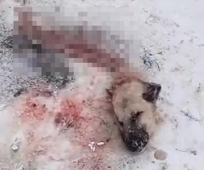 Sivas'ta köye inen kurtlar, parçaladıkları Kangal köpeğini yedi