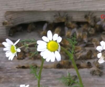 Zehirlenen arılar çırpına çırpına telef oldu