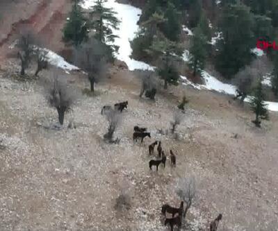 Aç kalan yılkı atları ölüyor