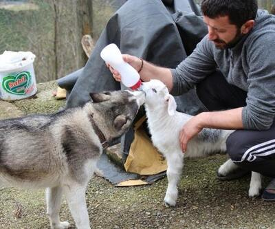 Oğlak ile köpeğin dostluğu
