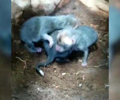 Çobanlar yeni doğmuş kurt yavrularını yuvalarında görüntüledi
