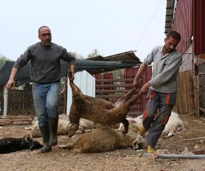 Ağıla giren köpekler, 42 koyunu telef etti