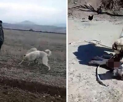 Acımasızca dövüştürülen köpeklerin görüntüleri yürekleri parçaladı