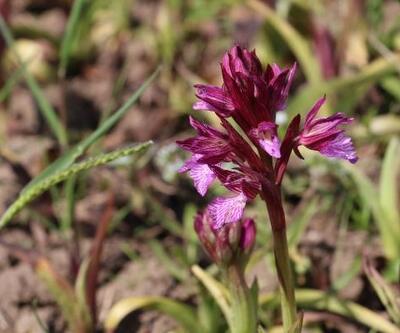 Orkide, kilosu bin liradan alıcı buluyor