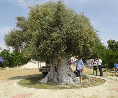 İşte Cumhurbaşkanı Erdoğan'ın bahsettiği o zeytin ağacı