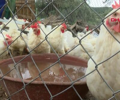 Kurtarılan tavuklar artık özgürce yaşayacak