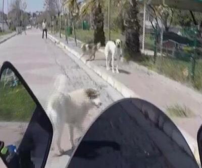 Silivri'de etrafını köpekler saran motosiklet sürücüsünün zor anları
