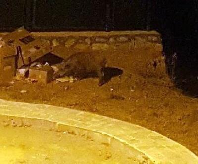Domuzlar, 2 bin kişinin yaşadığı siteye dadandı