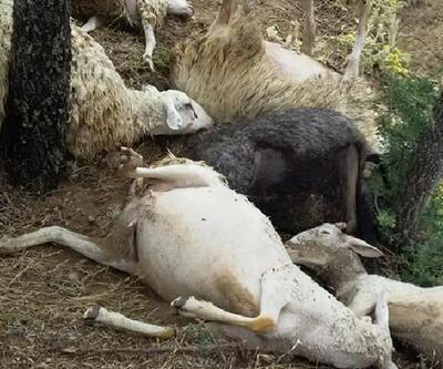 Denizli'de yıldırım düştü; 15 koyun telef oldu
