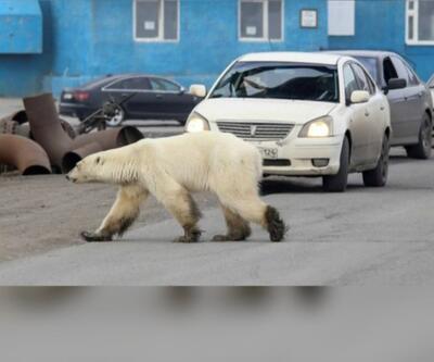 Kutup ayısı şehre indi