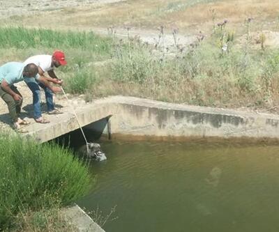 Kanala düşen domuzuvatandaşlar kurtardı