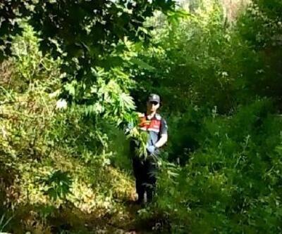 Demirci'de Hint keneviri yetiştiren 4 kişi Selendi'de yakalandı