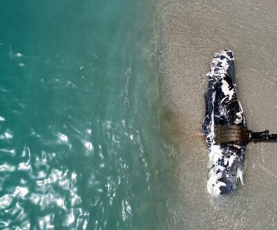 Muğla'da ölü balina kıyıya vurdu