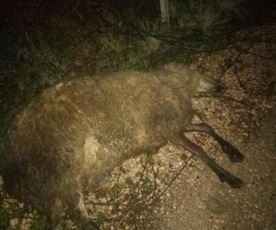 Faz kaçıran elektrik direği bir koyunu telef etti