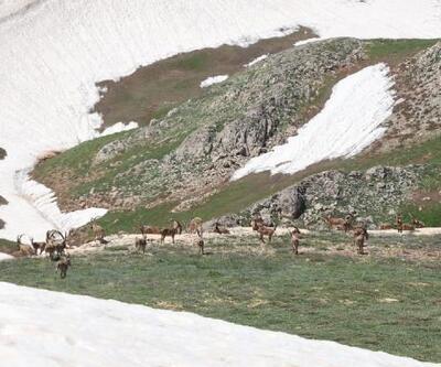 Tunceli'de yaban keçileri sürü halinde görüntülendi