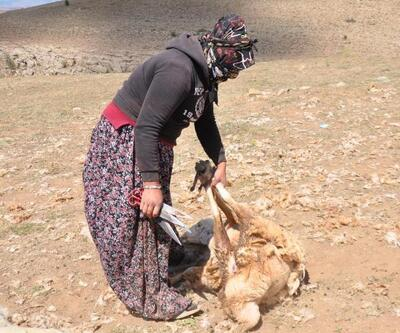 Kayseri'de kırpılan koyunların yünleri, çeyiz oluyor