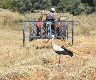 Leylek, buğday hasadı yapan çiftçinin peşinden ayrılmadı