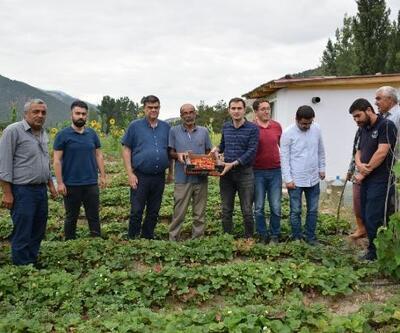 Reşadiye'de çilek bahçeleri ilk meyvelerini verdi