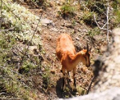 Koruma altındaki çengel boynuzlu dağ keçilerinin zorlu yolculuğu