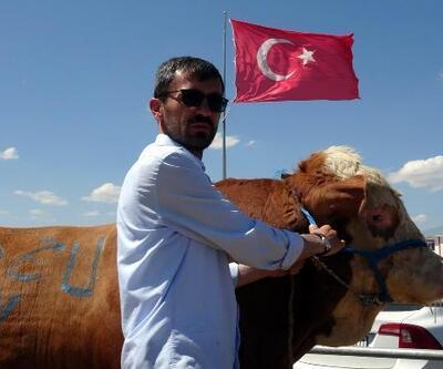 Erzurum kurban pazarının bir tonluk boğaları