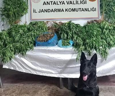 Jandarma ormanda uyuşturucu yetiştiren şüphelileri yakaladı