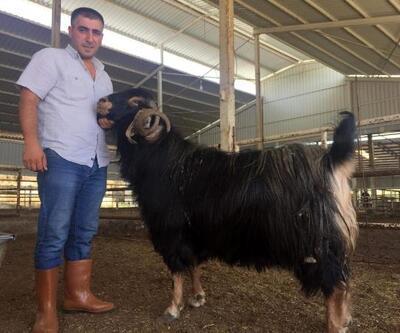 134 kiloluk 'Kızıl Seyis', 3 bin 400 TL'ye satıldı