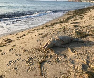 Yavru yunusun ölüsü kıyıya vurdu