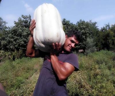35 kiloluk bal kabağı, görenleri şaşırtıyor