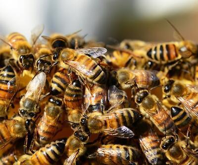 Rakamlar korkunç! Brezilya'da son 3 ayda 500 milyondan fazla arı öldü