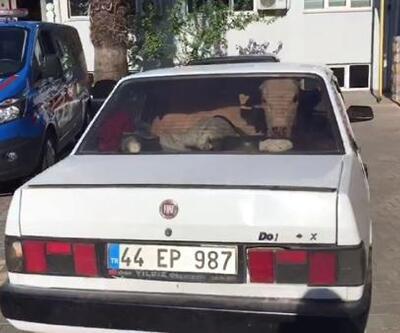 Jandarmadan kaçan sürücülerin otomobillerinde çalıntı inekler varmış