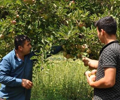 İslahiye'de elma hasadı başladı