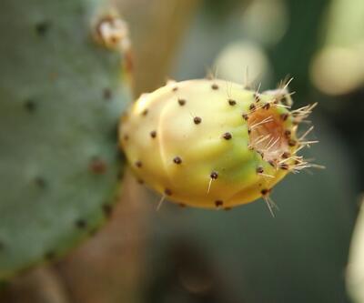 Bu bitkinin meyveleri her derde deva! En çok afrodizyak etkisi ile biliniyor...