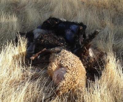 Otomobilin çarptığı 25 küçükbaş hayvan öldü
