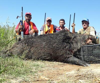 350 kiloluk yaban domuzu avladılar