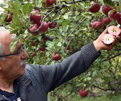 Bu elmanın içi de dışı da kırmızı... Sadece o ilimizde yetişiyor