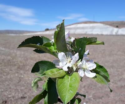 Elma ağacı eylülde çiçek açtı