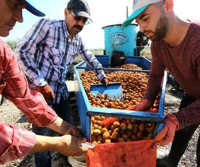 Yenişehirli ceviz yetiştiricileri rekolte ve satış fiyatından memnun