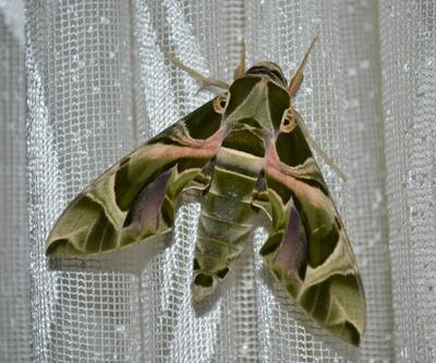 Mekik kelebeği Aydın'da görüntülendi