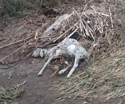 Derede akıntıya kapılan 27 koyun telef oldu