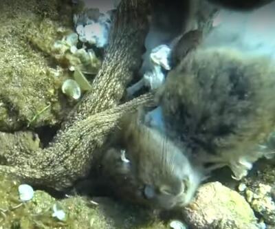Yer: Çanakkale... Ahtapot, tavşanı yerken görüntülendi