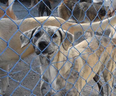 Yazlıkçılar her yıl onlarca köpeği sokağa bırakıyor