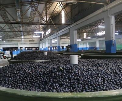 Orhangazi'de zeytin rekolte beyanı 7 bin tonu geçti