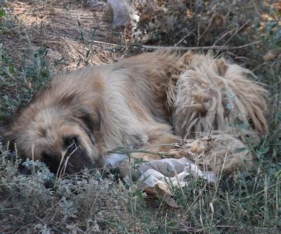 Edirne'de sokak köpekleri 'bakımsızlıktan ölüyor' iddiası