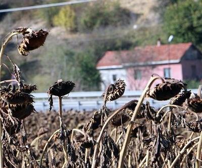 Bolu'da yağlık ayçiçeği hasadı