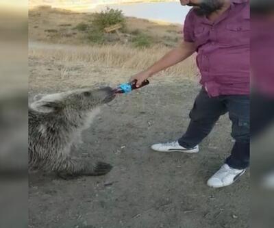 Yavru ayıların korumaya alınması gerekiyor