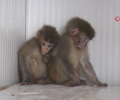 İki örümcek maymun sınırda yakalandı